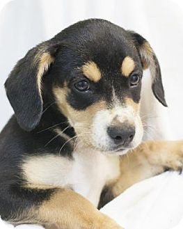 Shepherd (Unknown Type) Mix Puppy for adoption in Bedford, Indiana - Prancer