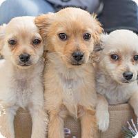 Adopt A Pet :: JACK - Inland Empire, CA