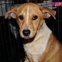 Adopt A Pet :: Sadie - Albany, NY