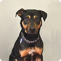 Coonhound (Unknown Type)/Shepherd (Unknown Type) Mix Dog for adoption in Farmington Hills, Michigan - Dusty