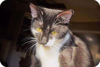 Domestic Shorthair Cat for adoption in Fenton, Missouri - Trixie