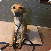 Adopt A Pet :: Holler - Phoenix, AZ