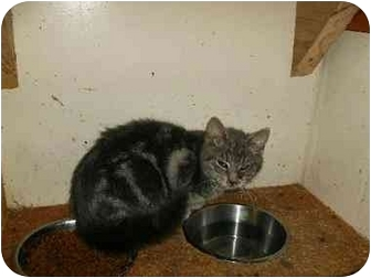 Domestic Mediumhair Cat for adoption in New Ringgold, Pennsylvania - Vance