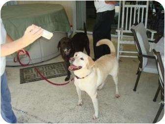 Labrador Retriever Dog for adoption in Altmonte Springs, Florida - Ted