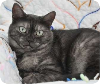 American Shorthair Cat for adoption in Davis, California - Coy (Smoke Sisters)