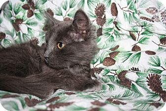 Domestic Longhair Kitten for adoption in Santa Rosa, California - Heather