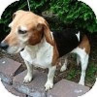 Adopt A Pet :: Scrappy - Novi, MI