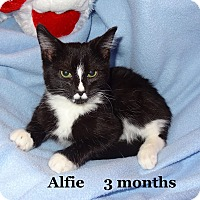 Adopt A Pet :: Alfie - Bentonville, AR