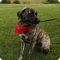 American Pit Bull Terrier Mix Dog for adoption in Maryville, Missouri - Stryper