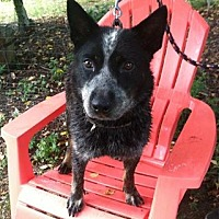Australian Cattle Dog Mix Dog for adoption in Midlothian, Virginia - Mel