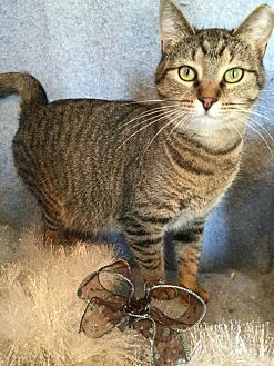 Domestic Shorthair Cat for adoption in Fredericksburg, Virginia - Mistletoe
