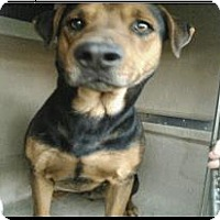 Rottweiler Mix Dog for adoption in San Antonio, Texas - 366986  Draco