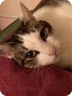Domestic Shorthair Cat for adoption in Shelbyville, Kentucky - Dee