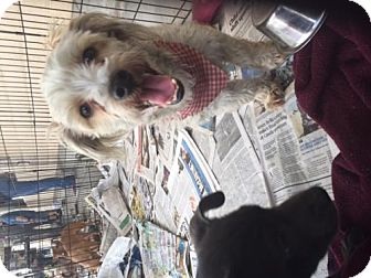 Poodle (Miniature) Mix Dog for adoption in Fresno, California - Shaggy