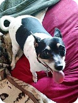 Jack Russell Terrier Mix Dog for adoption in Elyria, Ohio - Penny #2
