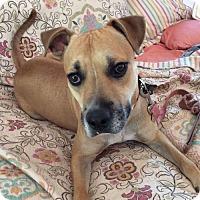 Adopt A Pet :: Levi - Clarkdale, AZ
