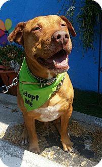 Labrador Retriever/Pit Bull Terrier Mix Dog for adoption in Los Angeles, California - Mac