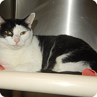 Domestic Shorthair Cat for adoption in Newport, North Carolina - Trudy aka Trouble