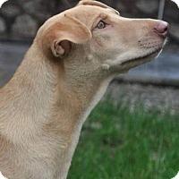 Whippet/Retriever (Unknown Type) Mix Dog for adoption in Wonder Lake, Illinois - DAPHNE