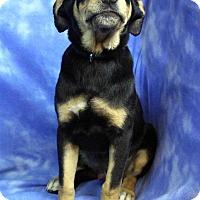 Adopt A Pet :: GRAHAM - Westminster, CO