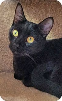 Domestic Shorthair Cat for adoption in Fairfax, Virginia - Nightshade