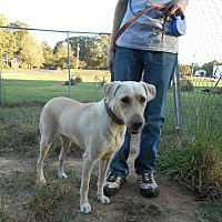 Labrador Retriever Mix Dog for adoption in Monroe, North Carolina - Josie