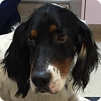 English Setter Dog for adoption in Pine Grove, Pennsylvania - GUNNER