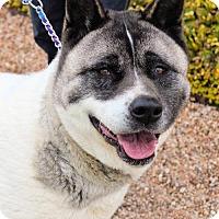 Akita Dog for adoption in Corry, Pennsylvania - Kenu