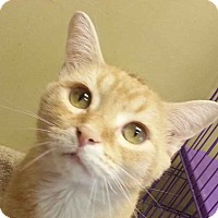 Domestic Shorthair Cat for adoption in Lexington, Kentucky - Bugsy