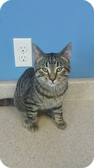 Domestic Shorthair Kitten for adoption in Brookings, South Dakota - Hermes
