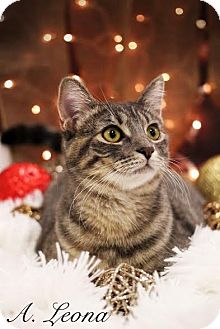 Domestic Shorthair Kitten for adoption in Plymouth, Minnesota - Dorothy