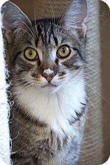 Domestic Shorthair Cat for adoption in Seal Beach, California - Gretzky