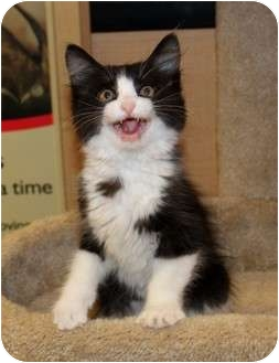 Domestic Mediumhair Kitten for adoption in Nolensville, Tennessee - Jazz