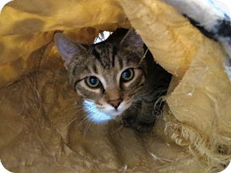 Domestic Shorthair Cat for adoption in Geneseo, Illinois - Gary