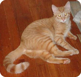 Domestic Shorthair Cat for adoption in Merrifield, Virginia - Gulf & Texaco