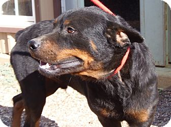 Rottweiler Mix Dog for adoption in Post, Texas - Oso