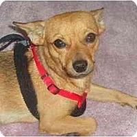 Adopt A Pet :: Pedro - Scottsdale, AZ