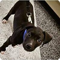 Adopt A Pet :: Stella - Mesa, AZ