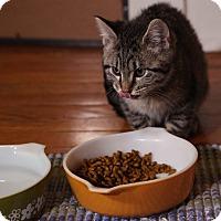 Adopt A Pet :: Nina Simone - St. Louis, MO