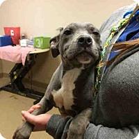 Adopt A Pet :: NIKA - Sacramento, CA