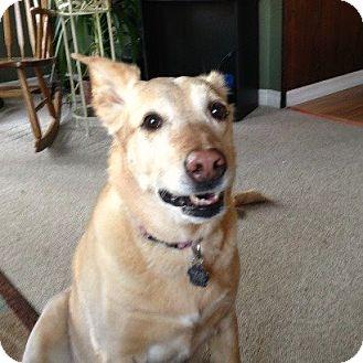 Labrador Retriever Dog for adoption in Blackstock, Ontario - Brandy
