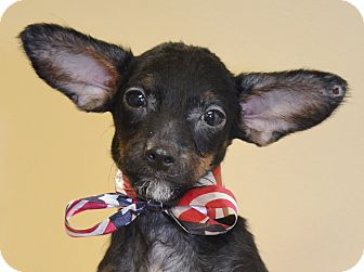 Chihuahua/Dachshund Mix Puppy for adoption in Independence, Missouri - Chico
