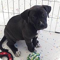 Adopt A Pet :: Ping - Hillside, IL