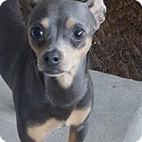 Chihuahua/Miniature Pinscher Mix Dog for adoption in C/S & Denver Metro, Colorado - Avery  1 1/2 Years