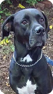 Labrador Retriever Mix Dog for adoption in Newtown, Pennsylvania - Angel