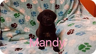 Shepherd (Unknown Type)/Labrador Retriever Mix Puppy for adoption in Hainesville, Illinois - Mandy