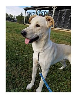 Shepherd (Unknown Type)/Labrador Retriever Mix Dog for adoption in LaGrange, Kentucky - WRIGLEY