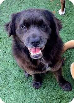 Chow Chow/Golden Retriever Mix Dog for adoption in Ft Myers Beach, Florida - LEFT TO DIE!!