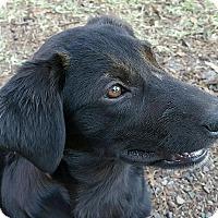 Adopt A Pet :: Bonnie - Albany, NY
