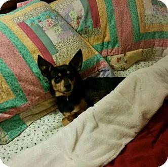 Miniature Pinscher Dog for adoption in Winfield, Pennsylvania - MP4 Schroeder